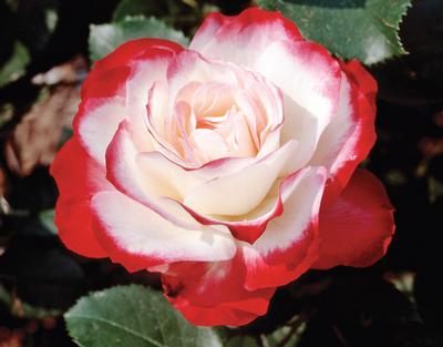 Rosa Grandiflora (Cherry Parfait (own root))