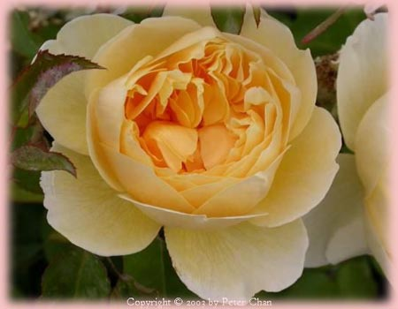 Rosa English Rose (Charlotte (own root))