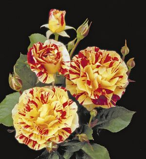 Rosa Floribunda (George Burns)