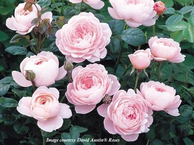 Rosa English Rose (Queen of Sweden)