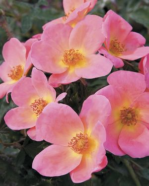 Rosa Landscape/Shrub (Rainbow Knock Out o.r.)