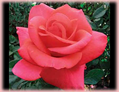 Rosa Hybrid Tea (We Salute You)