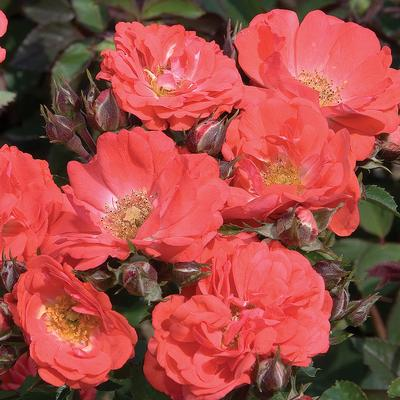 Rosa Landscape/Groundcover (Coral Drift gc o.r.)