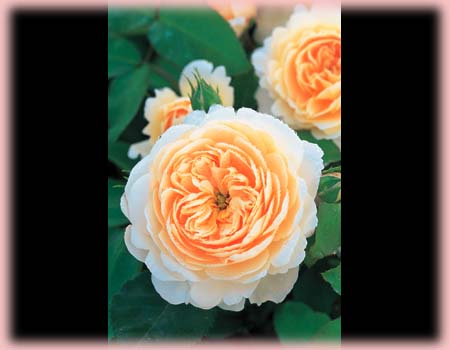 Rosa English Rose (Crocus Rose)