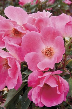 Rosa Landscape/Shrub (Pink Knock Out o.r.)