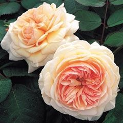 Rosa English Rose (A Shropshire Lad)