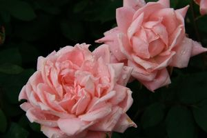 Rosa Landscape/Shrub (Bubble Double o.r.)