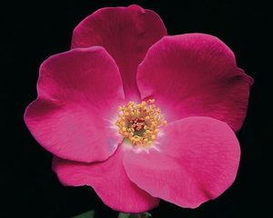 Rosa Landscape/Shrub (Pink Home Run o.r.)