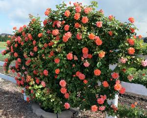 Above All Rosa Climber Above All From Regan Nursery