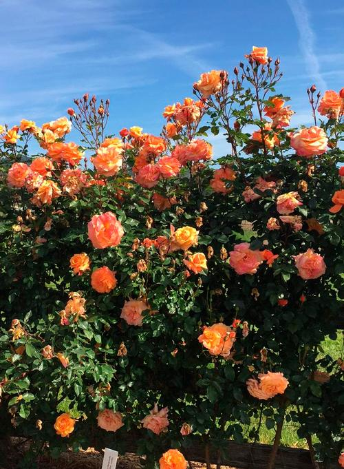 Tangerine Skies Arborose 174 New 2019 Own Root Rosa Climber