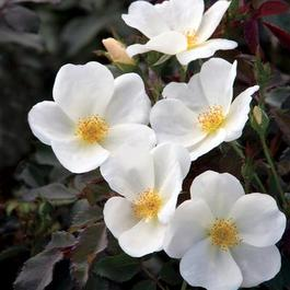 The White Knock Out® Rose New 2018