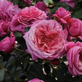 Black dragon rose bushes for sale