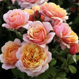 Rosa Grandiflora State of Grace New 2020 (State of Grace New 2020)