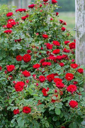 Bare Root Roses - 1,000+ Bare Root Roses Available - Regan