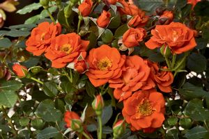 Rosa Miniature (All a' Twitter)