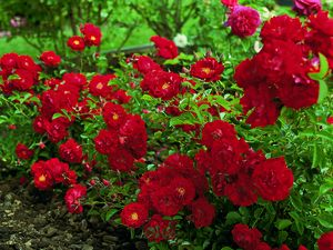 Rosa Landscape/Shrub (Red Ribbons)