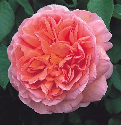 Rosa English Rose (Abraham Darby)